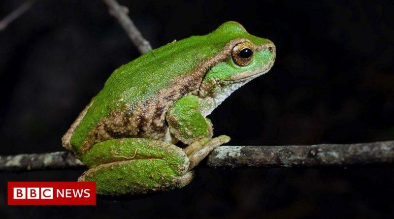 Saving Australian frog species on the brink of extinction